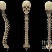 3d Rendering Of Human Vertebral Column Art Print