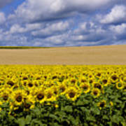 A Field Of Sunflowers . Auvergne. France Art Print