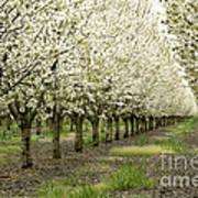 A Flowering Cherry Orchard Art Print
