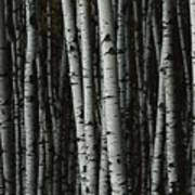 A Forest Of White Birch Trees Betula Print by Medford Taylor