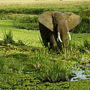 African Elephant In Swamp Art Print