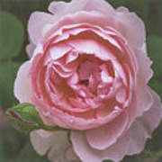 Alnwick Rose 1830 Art Print