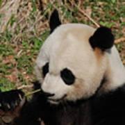 Amazing Panda Bear Holding On To Shoots Of Bamboo Art Print