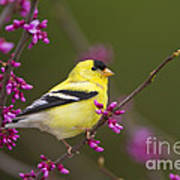 American Goldfinch In Redbud Art Print