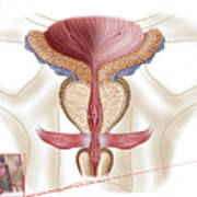 Anatomy Of Prostate Gland Art Print