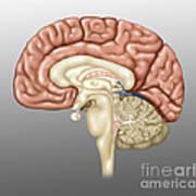 Anatomy Of The Brain, Illustration Art Print