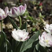 Angelique Peony Tulips Art Print