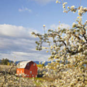 Apple Blossom Trees And A Red Barn In Art Print