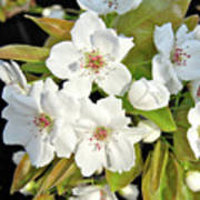 Apple Blossoms 0936 Art Print
