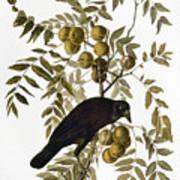 Audubon: Crow Art Print
