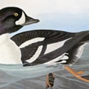Audubon Duck Art Print
