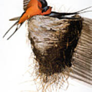Audubon: Swallow Art Print
