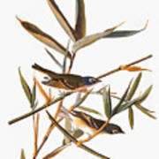 Audubon: Vireo Art Print