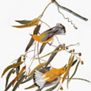 Audubon: Warbler Art Print