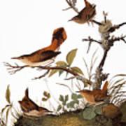 Audubon: Wren Art Print