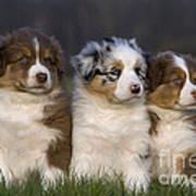 Australian Shepherd Puppies Art Print
