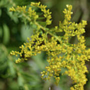 Autumn Goldenrod  Art Print