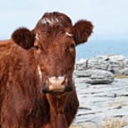 Beautiful Brown Cow On The Burren In Ireland Art Print
