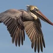 Beautiful Brown Pelican Art Print
