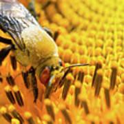 Bee And Sunflower Art Print