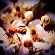 Bee On Apple Blossoms Art Print