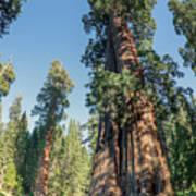 Big Tree Trail - Sequoia National Park - California Art Print