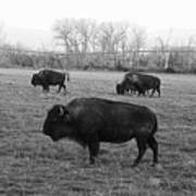Bison In Black And White Art Print