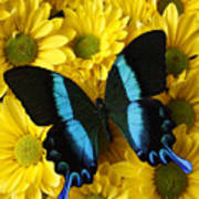 Black And Blue Butterfly Art Print