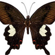 Black And Brown Butterfly Species Papilio Nephelus Art Print