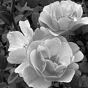 Black And White Roses 2 Art Print