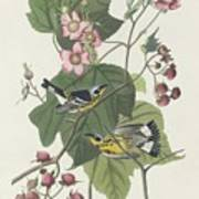 Black And Yellow Warbler Art Print