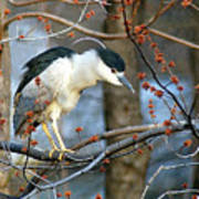 Black-crowned Night Heron Art Print