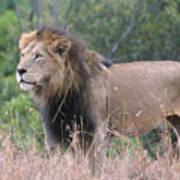 Black Maned Lion Art Print