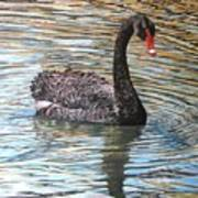 Black Swan On Water Art Print