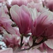 Blooming Pink Magnolias Art Print