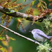Blue-gray Gnatcatcher In Conifer Art Print