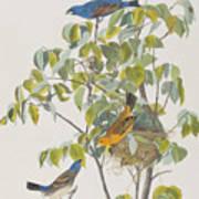 Blue Grosbeak Art Print