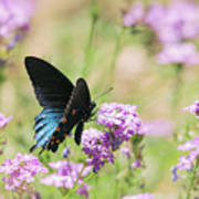 Blue Swallowtail Butterfly  Art Print