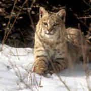 Bobcat In The Snow. Art Print