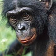 Bonobo Pan Paniscus Portrait Art Print