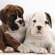 Boxer Puppies Art Print