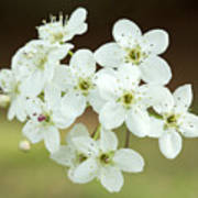 Bradford Pear Flower Art Print