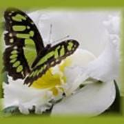 Butterfly On White Art Print
