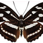 butterfly species Athyma reta moorei Art Print