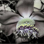 Cannonball Flower Art Print