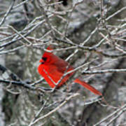 Cardinal On Icy Branches Art Print