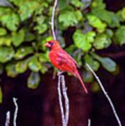 Cardinal Twigging A Break Art Print