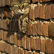 Cat On A Brick Wall Art Print