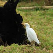 Cattle Egret In A Pasture Art Print