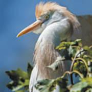 Cattle Egret Profile Art Print